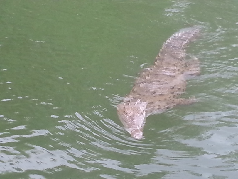 Crocodile swimming in the Black River, Jamaica